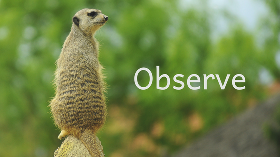 observed mongoose