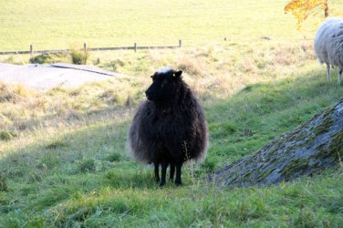 black sheep standing on hill