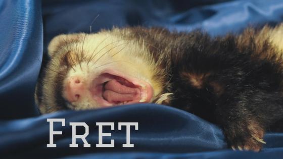 yawning ferret